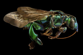 Levon Biss, Orchid Cuckoo Bee (Side View)